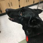 Black dog in a classroom
